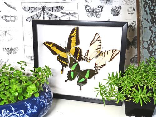 Butterfly 3 asstd