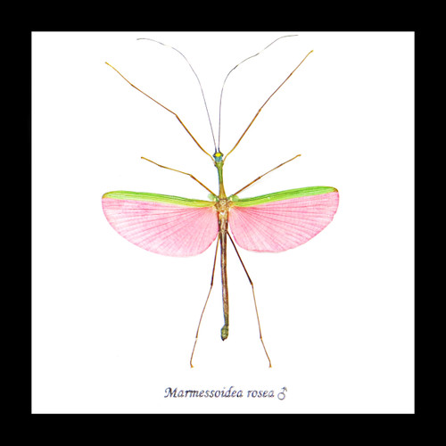 Phasmid stick insect Bits & Bugs