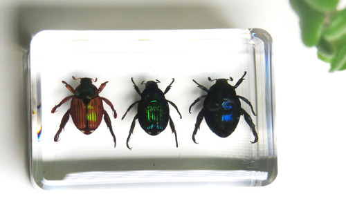 Paperweight mini jewel beetles