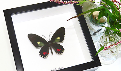 Butterfly framed Parides erlaces Bits & Bugs