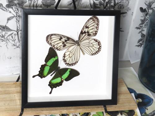 Papilio palinurus matt + Idea idea