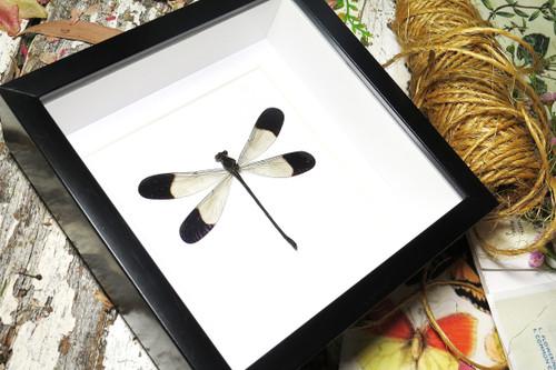 Megaloprepus dragonfly