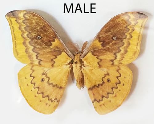 Syntherata escarlata Male