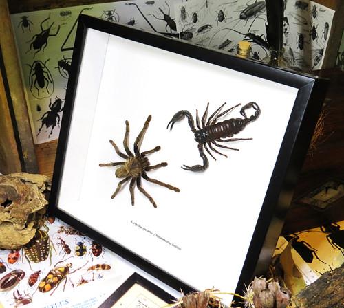 Spider scorpion insect arachnid bitsbugs