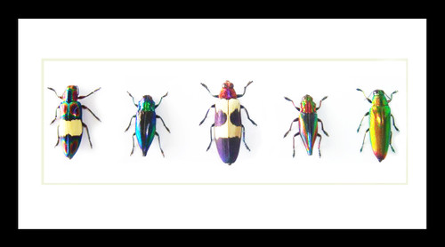 jewel beetles bugs insects  Bits & Bugs