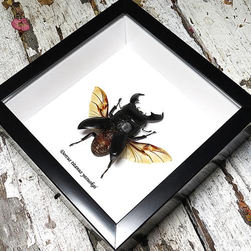 Stag beetle bug insect Dorcus titanus yasuokai