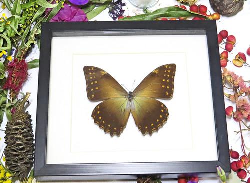 Framed butterflies Morpho telemachus Bits & Bugs