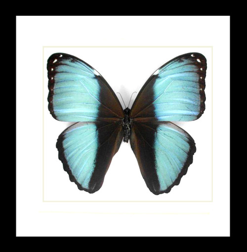 Morpho patroclus Real butterfly frame Morpho patroclus Bits&Bugs