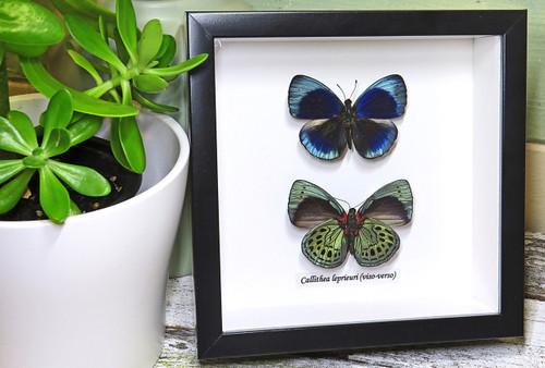 home decor interior design taxidermy butterfly Callithea leprieuri Bits & Bugs