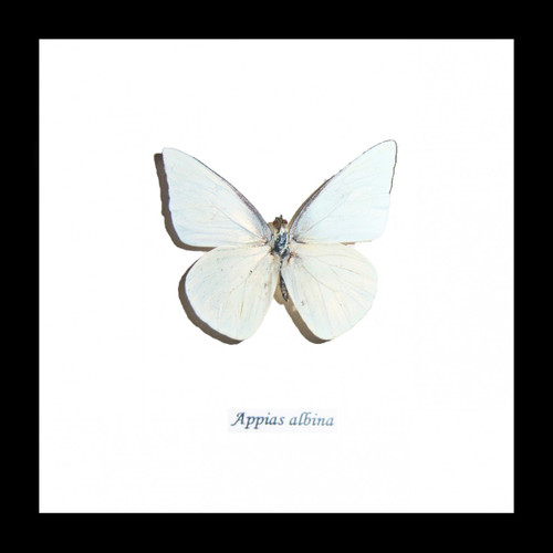 Australian Framed butterfly