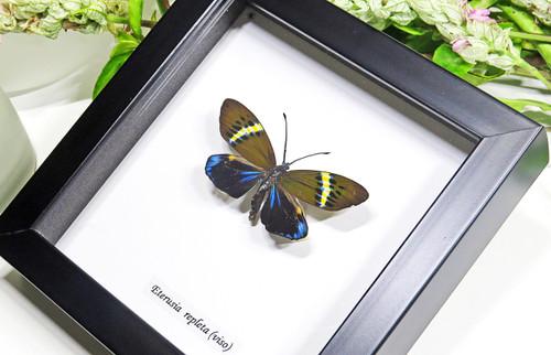 Framed moths Eterusia repleta Bits & Bugs