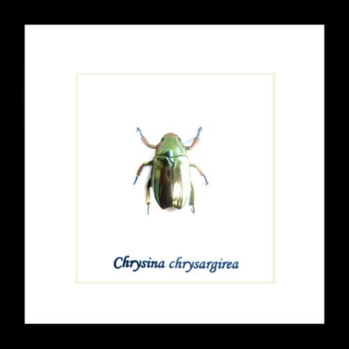 Chrysina chrysargirea