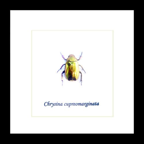 Chrysina cupreomarginata
