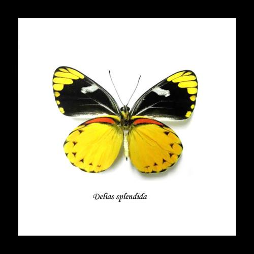 Real butterfly Delias splendida Bits & Bugs