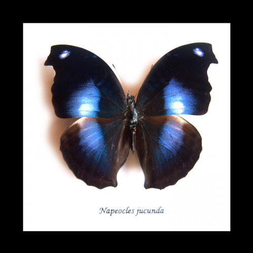 Butterfly framed Napeocles jucunda Bits&Bugs
