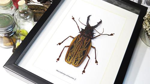 macrodontia cervicornis