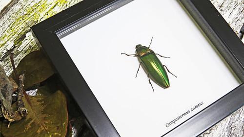 Beetle Campostermus auratus Bits & Bugs