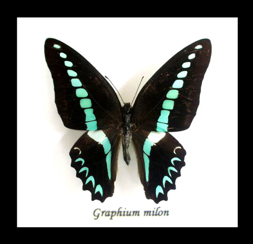 butterfly insect taxidermy for sale australia bits and bugs