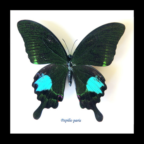 butterfly moth lepidoptera for sale Papilio paris Bits&Bugs