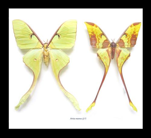 Actias maenas male female