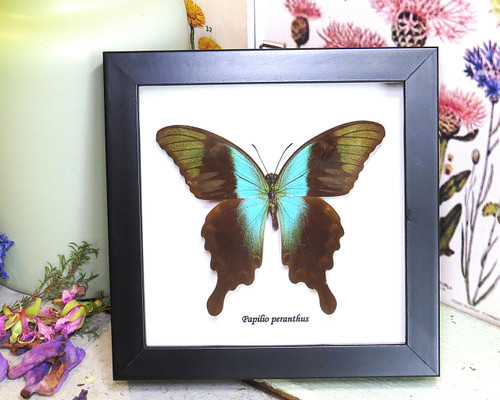 home decor design taxidermy butterfly for sale Papilio peranthus adamantius Bits & Bugs