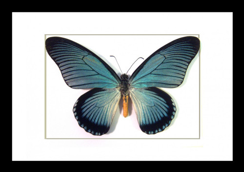 Butterflies framed Papilio zalmoxis Bits&Bugs