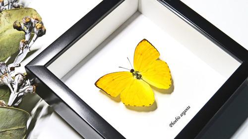 Framed butterflies  Phoebis argante Bits & Bugs