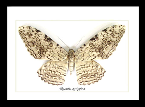 Thysania agrippina Bits & Bugs