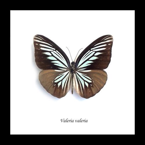 Framed butterflies Bits & Bugs