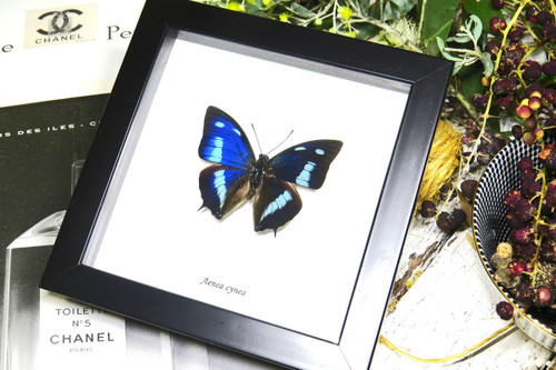 Anaea cyanea Bits&Bugs