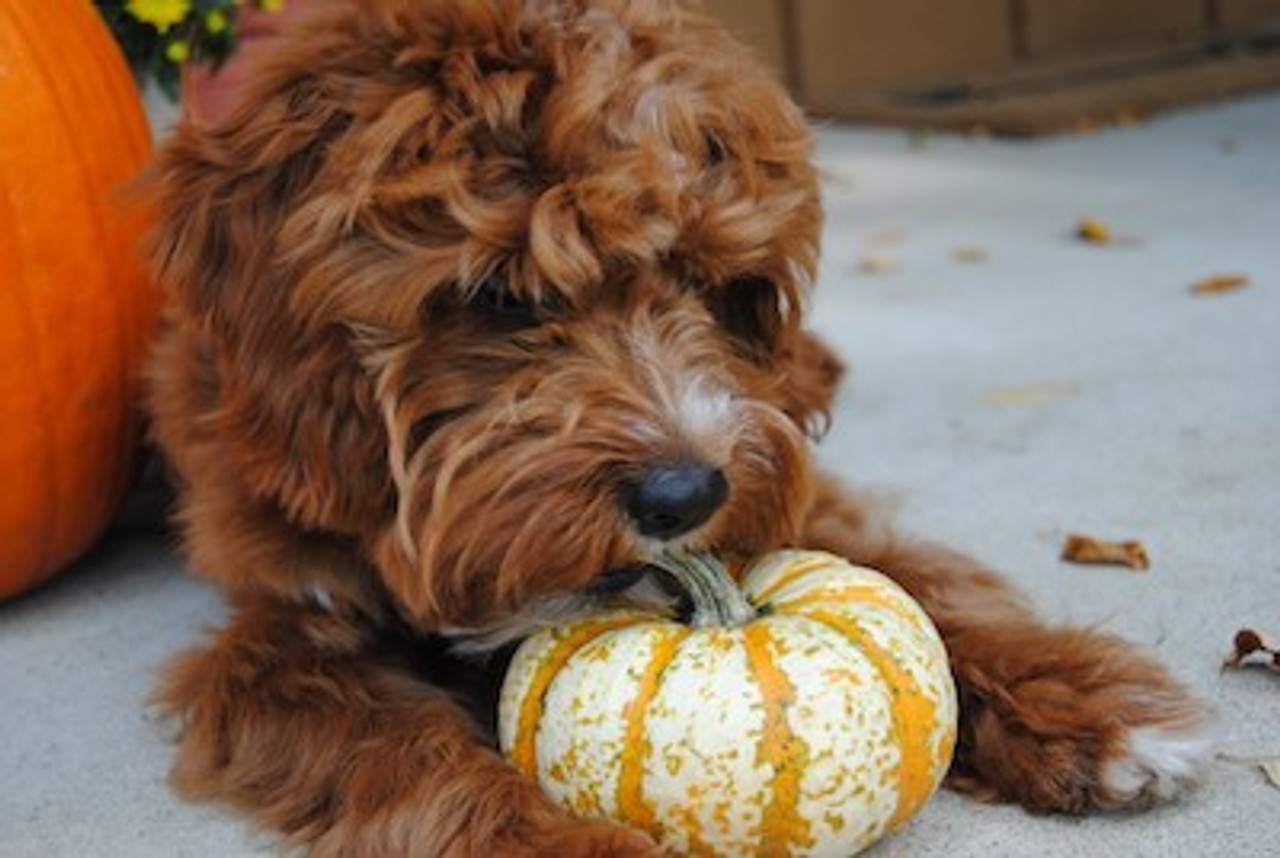 Pumpkin for Dogs - The Ultimate Guide