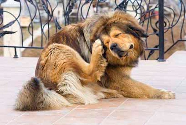 5 Home Remedies for Itchy Skin on Dogs