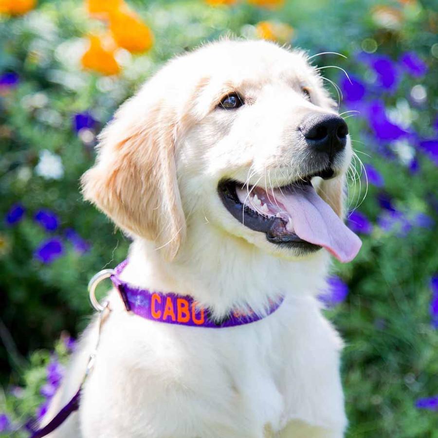 Signature Design Embroidered Nylon Dog Collar on Dog