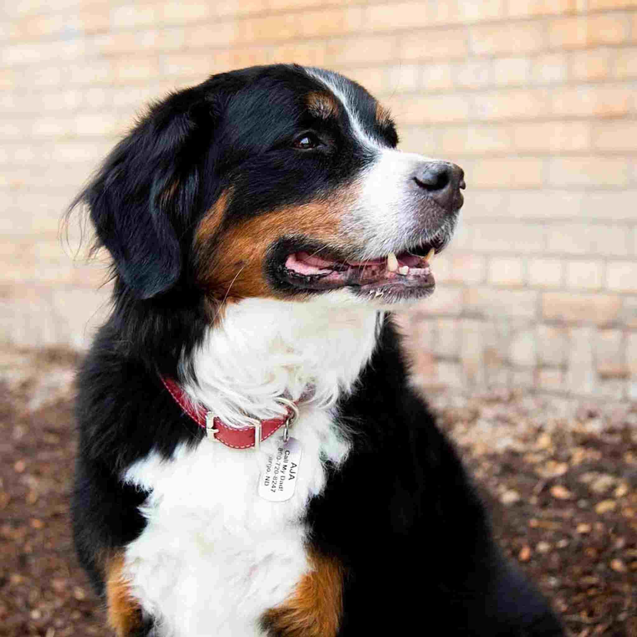 Military Dog ID Tags - On Dog