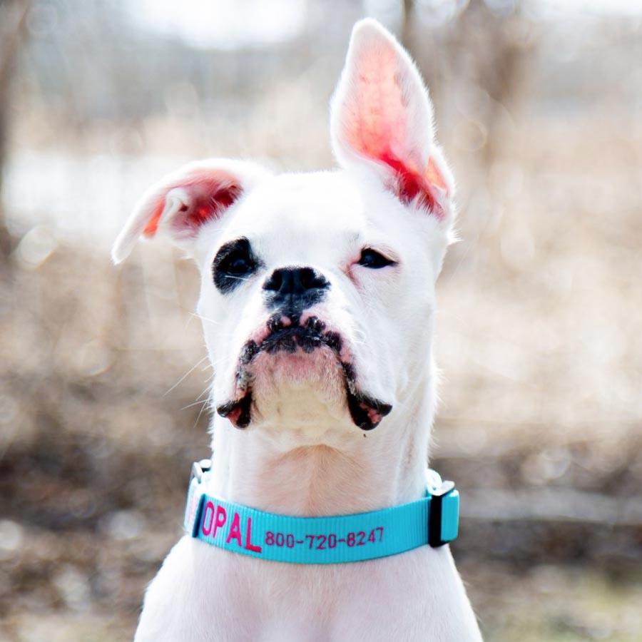 Embroidered Nylon Dog Collar on Dog