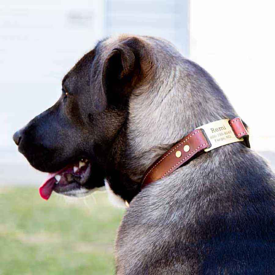 Leather Brass ScruffTag Collar on Dog