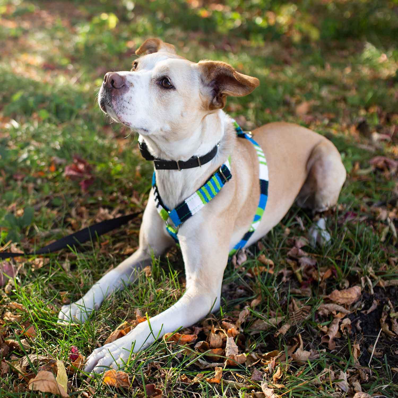 Maya Harness on Dog Panini