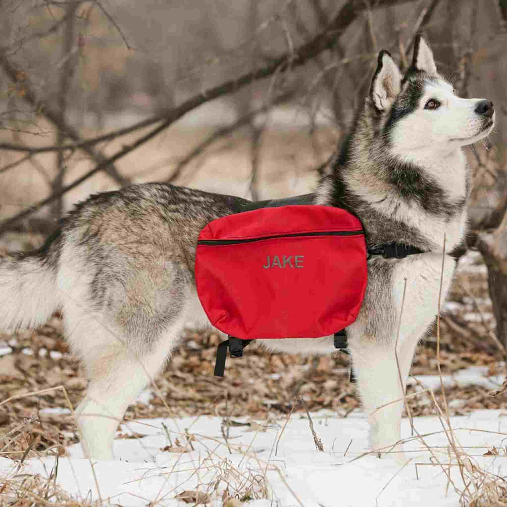 husky dog wearing red satchel