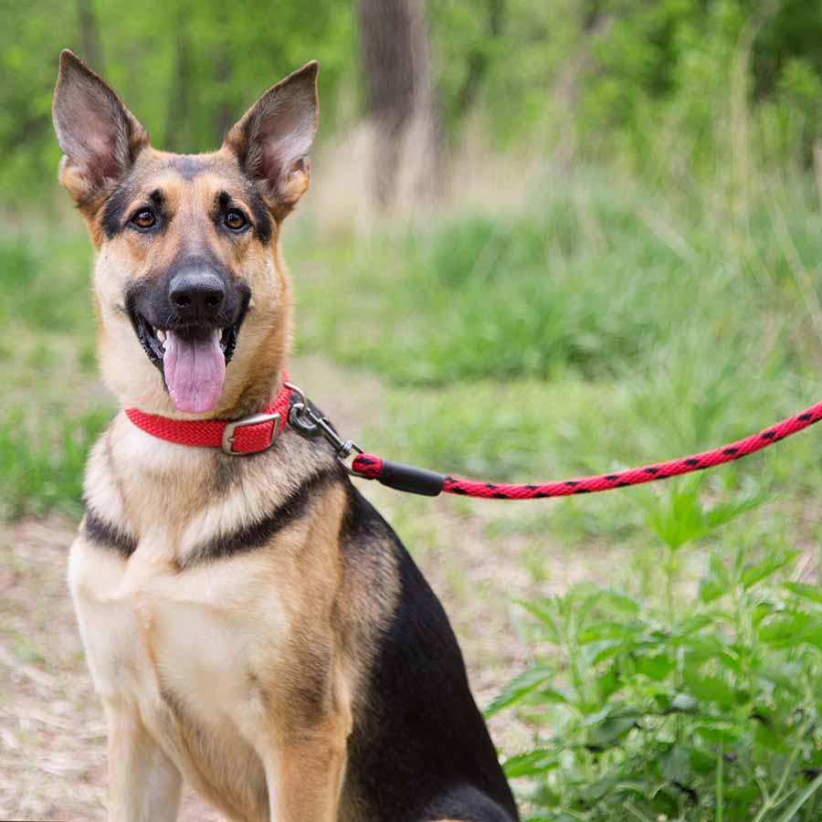 Mendota Braided Snap Leash on Dog
