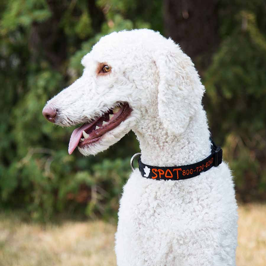 Custom Embroidered Halloween Dog Collars on Dog