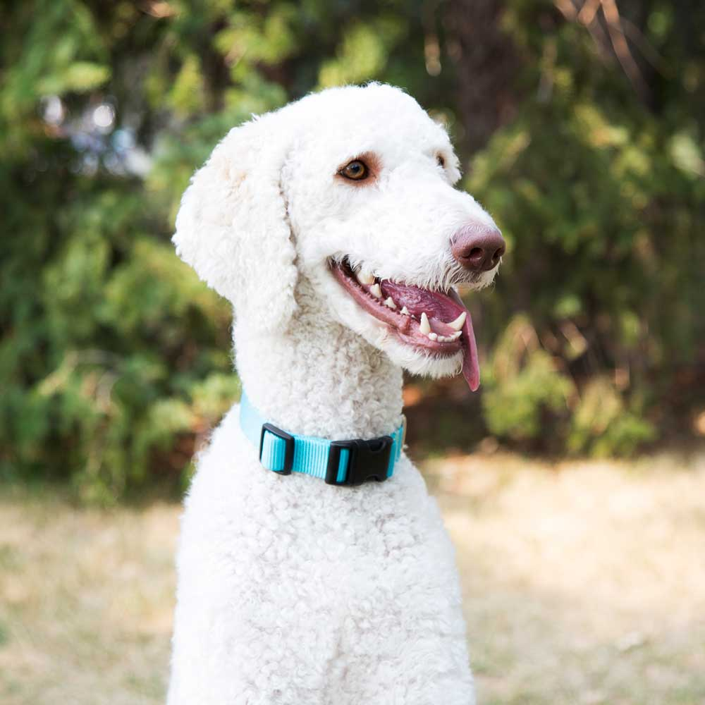 Color Splash ScruffTag Nylon Dog Collar on Dog