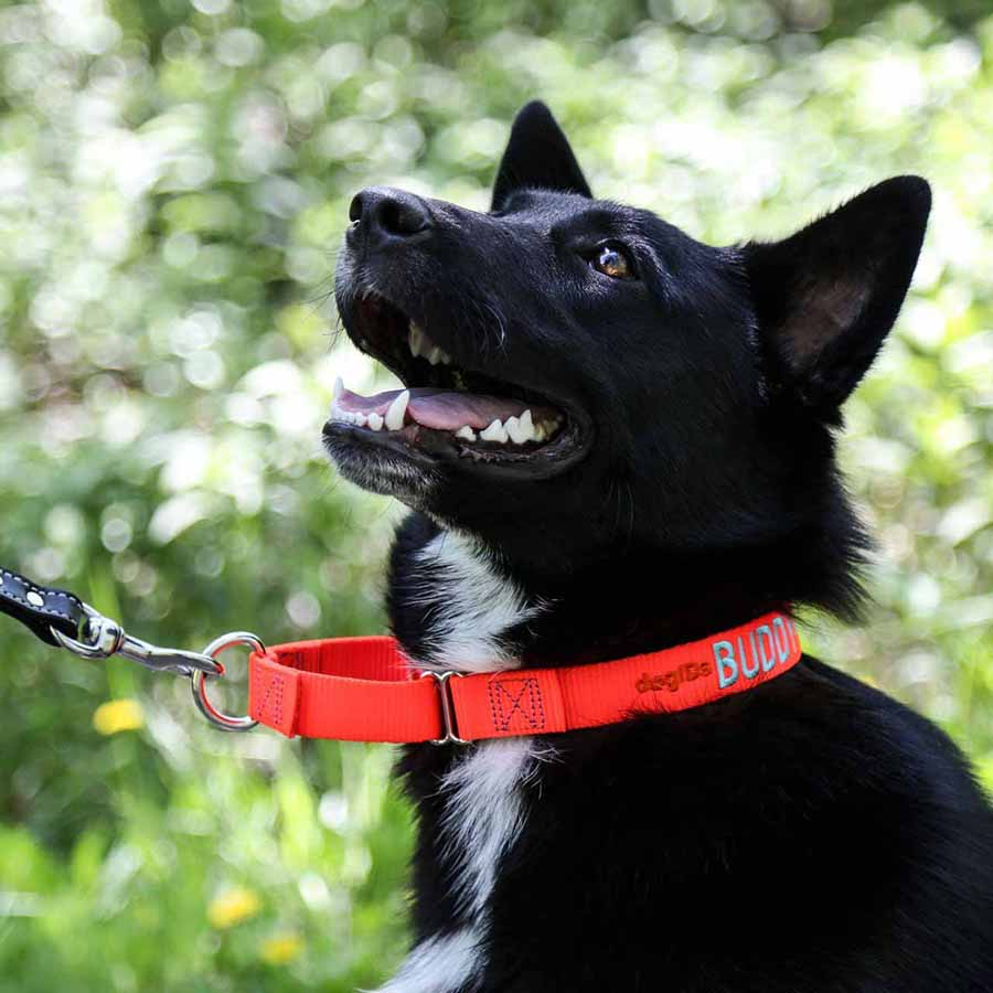 Embroidered Martingale Nylon Dog Collar on Dog