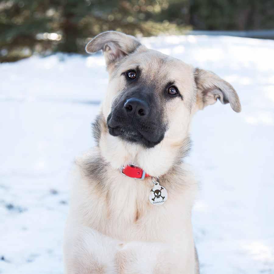Skull Design Dog ID Tags - on Dog