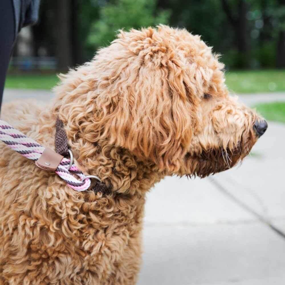 Mendota Dog Walker Martingale Leash on Dog