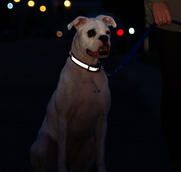 Reflective Waterproof Dog Collar in Use at Night