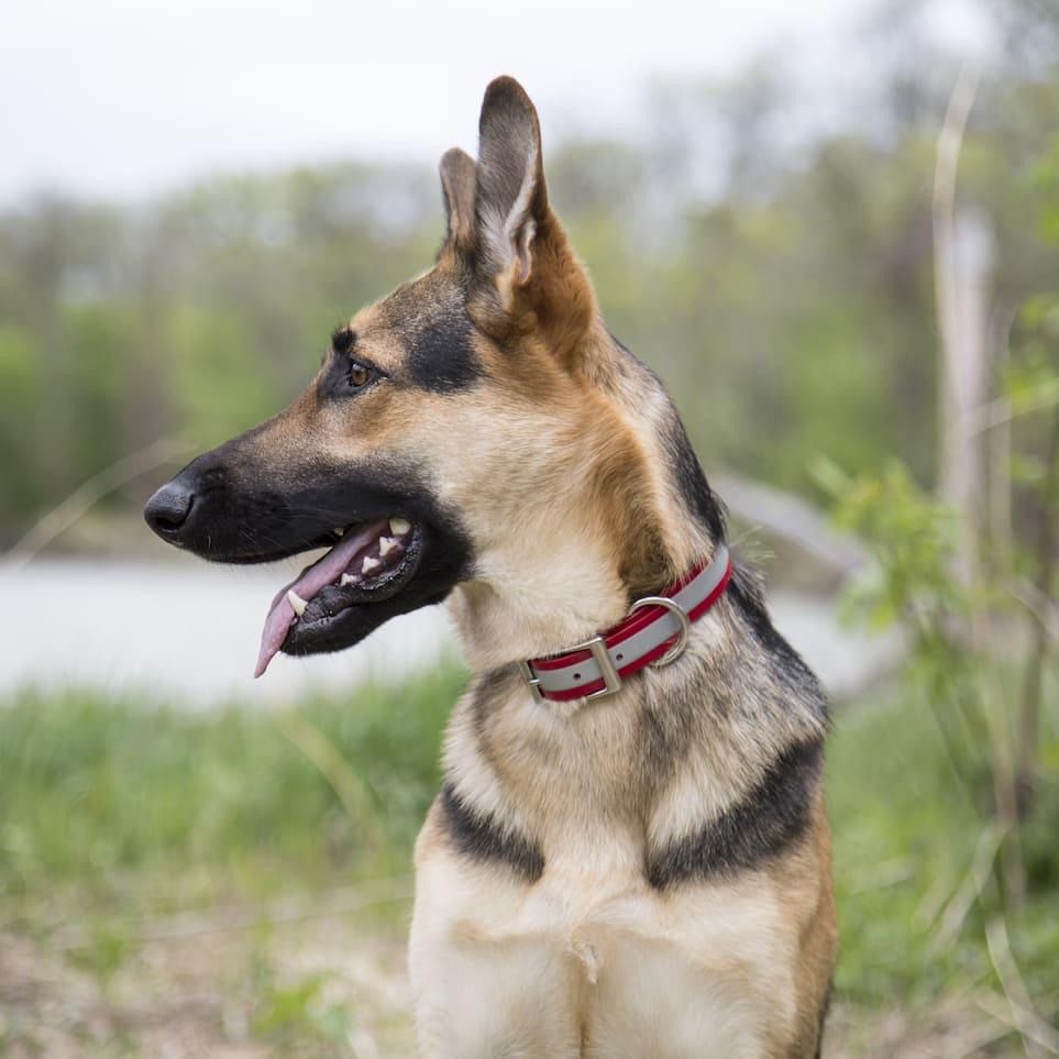Reflective Waterproof Dog Collar in Use