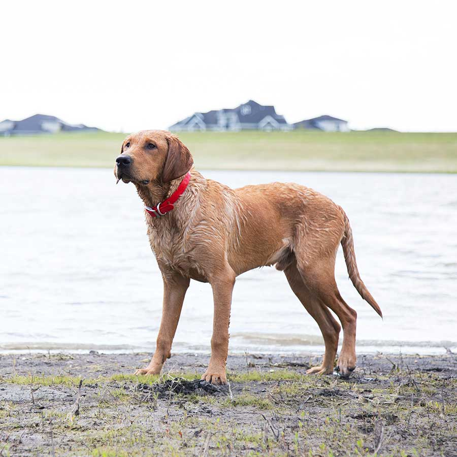 Waterproof Safety Dog Collar - on Dog in Water