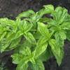 Sweet Basil Herbs Seeds