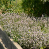 English Thyme Herbs Seeds - garden