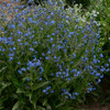 Forget-Me-Not Flower Seeds